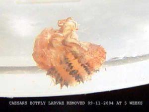 Caesar's botfly larva removed from his ear.
