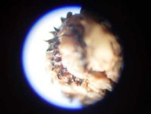 Caesar's botfly larva close up.